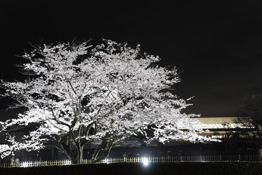 Night viewing Cherry trees at National Museum of Japanese History